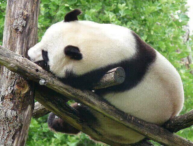 Oso Panda tomando una siesta entre la ramas de un arbol