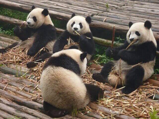 Reunión de osos panda