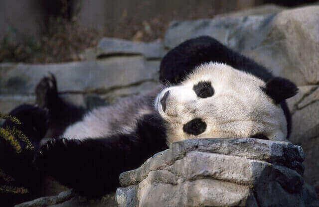 Panda tomando el sol