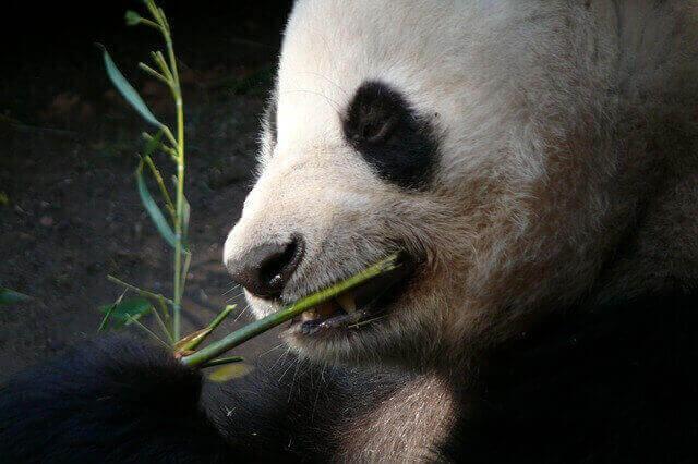 Alimentación del oso panda